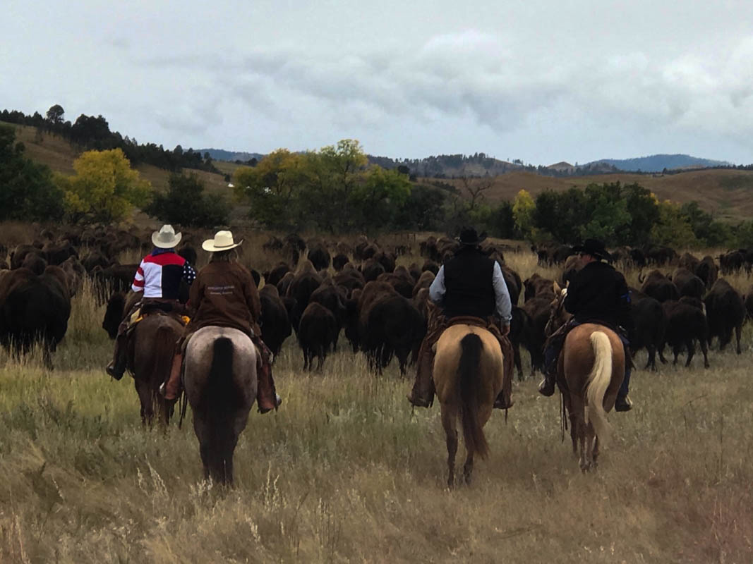 Buffalo Roundup in Custer State Park in South Dakota.