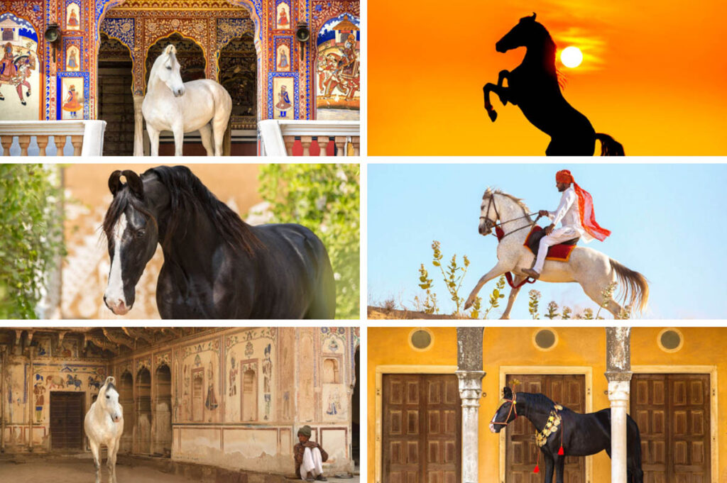 Fotoreis Mandawa India > Marwari paard fotograferen