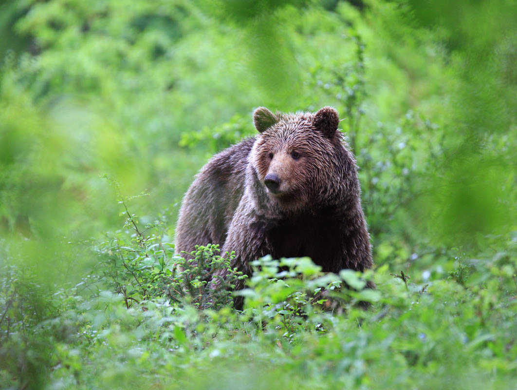Beren spotten in Europa