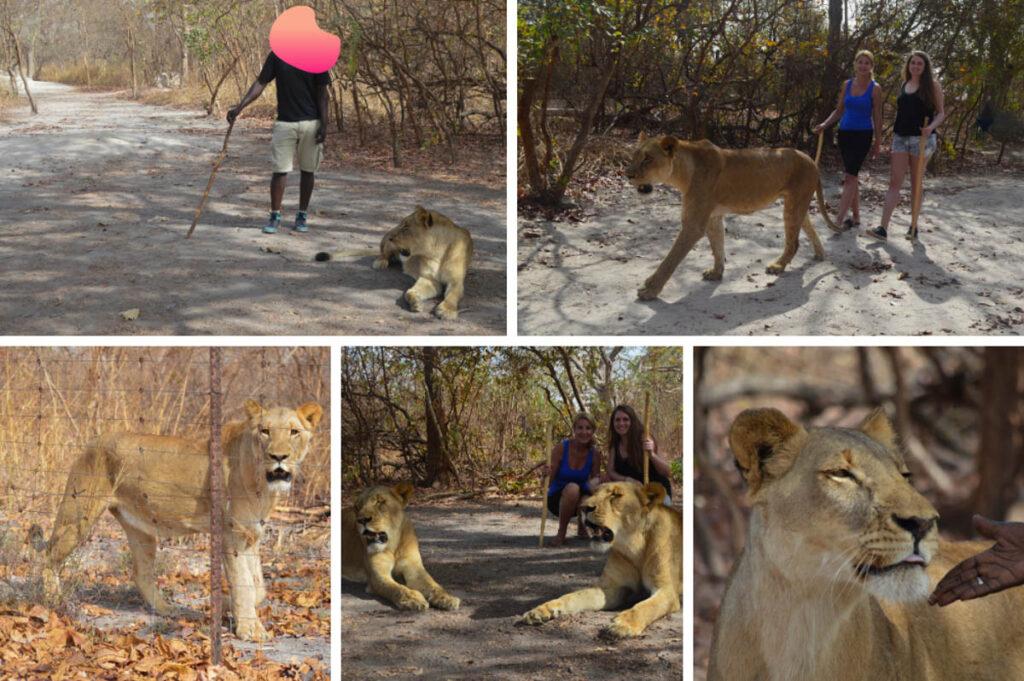 Wandelen met leeuwen in Senegal
