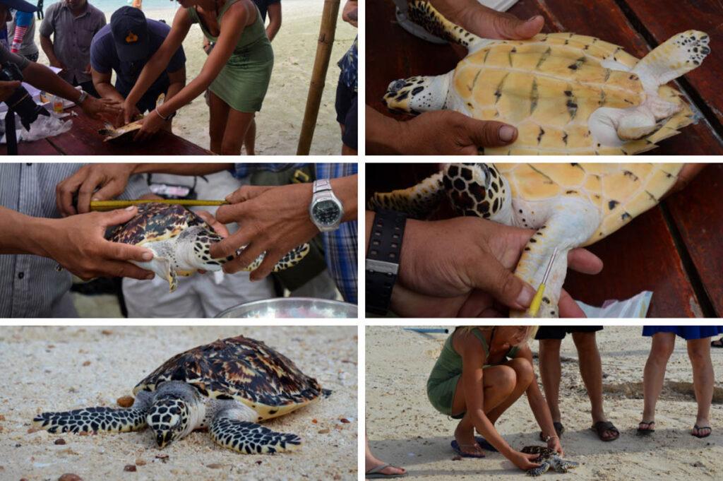 Zeeschildpadden vrijlaten op Koh Talu, Thailand