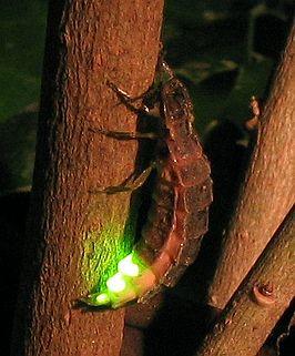 Vuurvlieg, ook wel glimworm genoemd