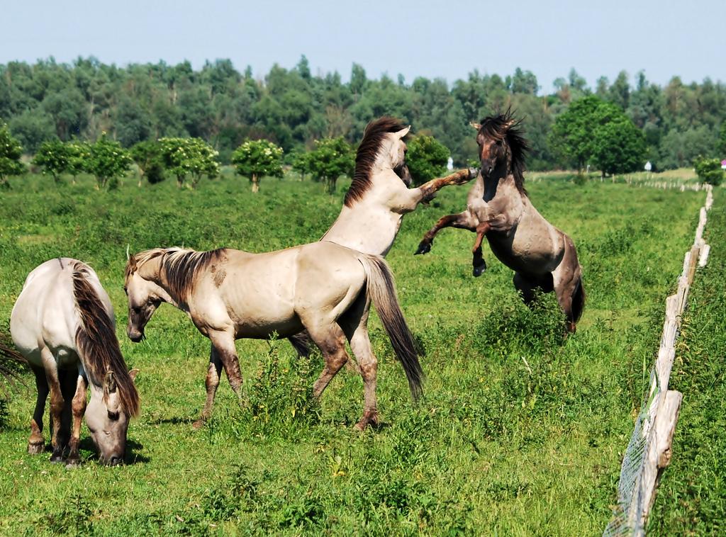 Prezwalski paarden Oostvaardersplassen (Foto: Flickr)