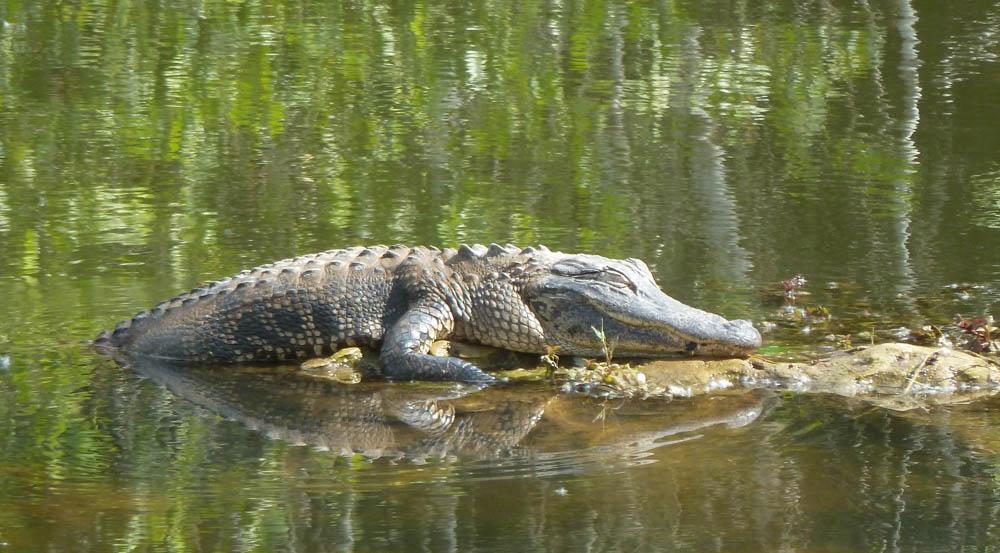 Krokodillen spotten in Everglades