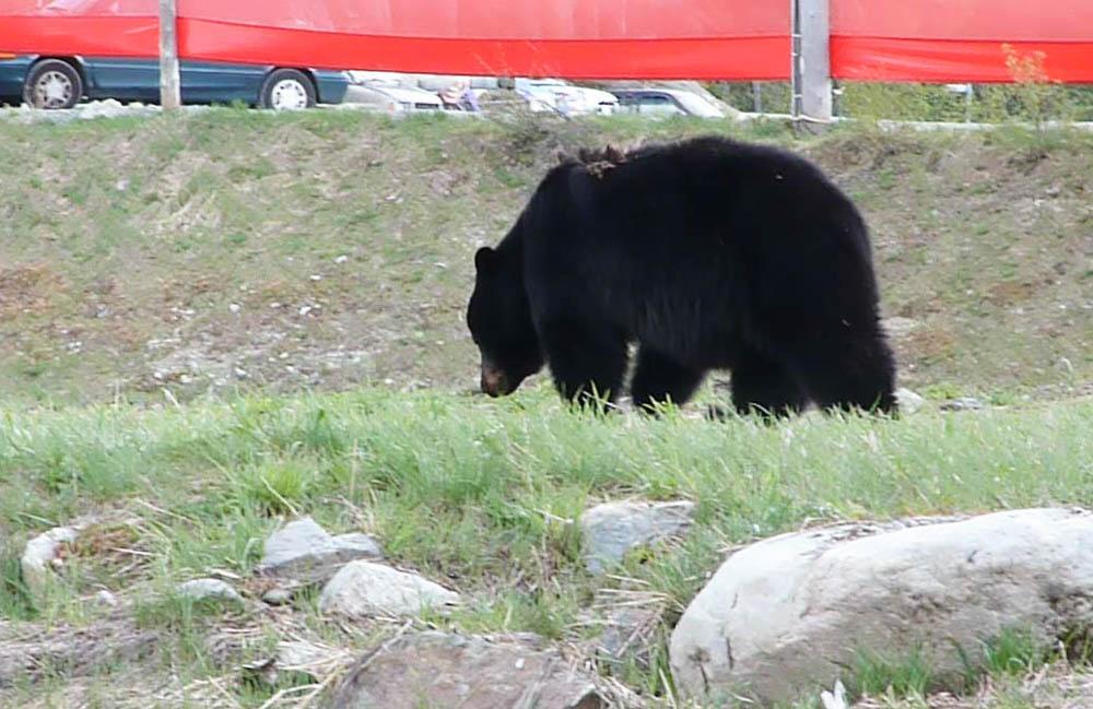 Beren gespot in Whistler - Canada