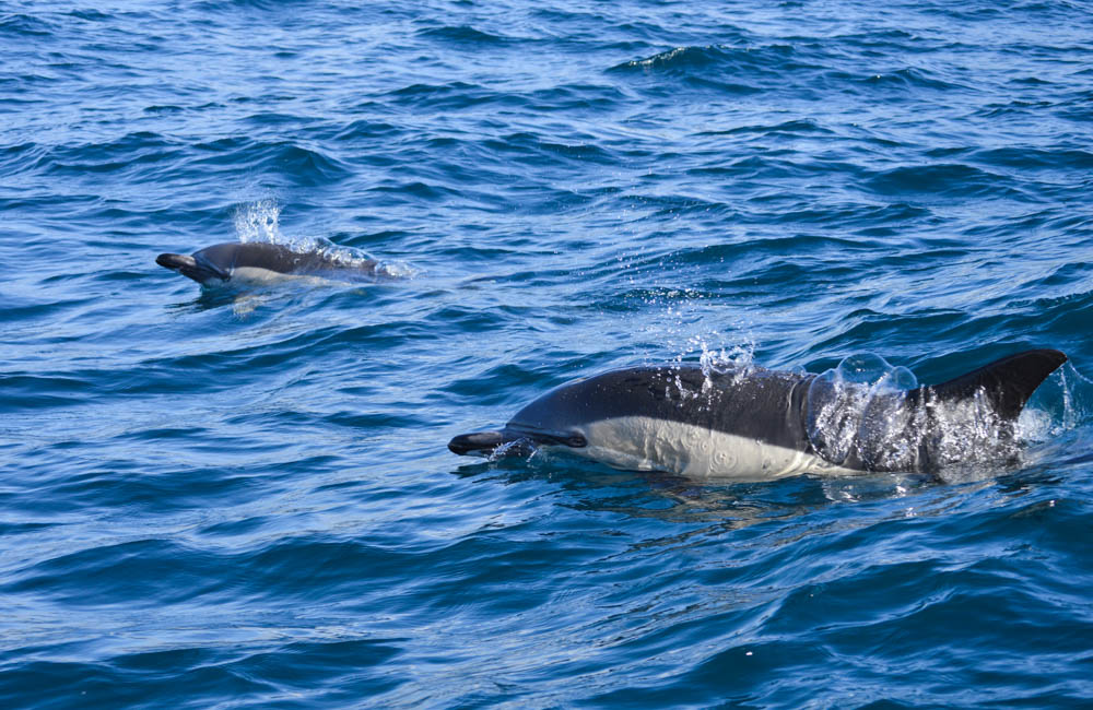 Common-dolphin-SaoMiguel