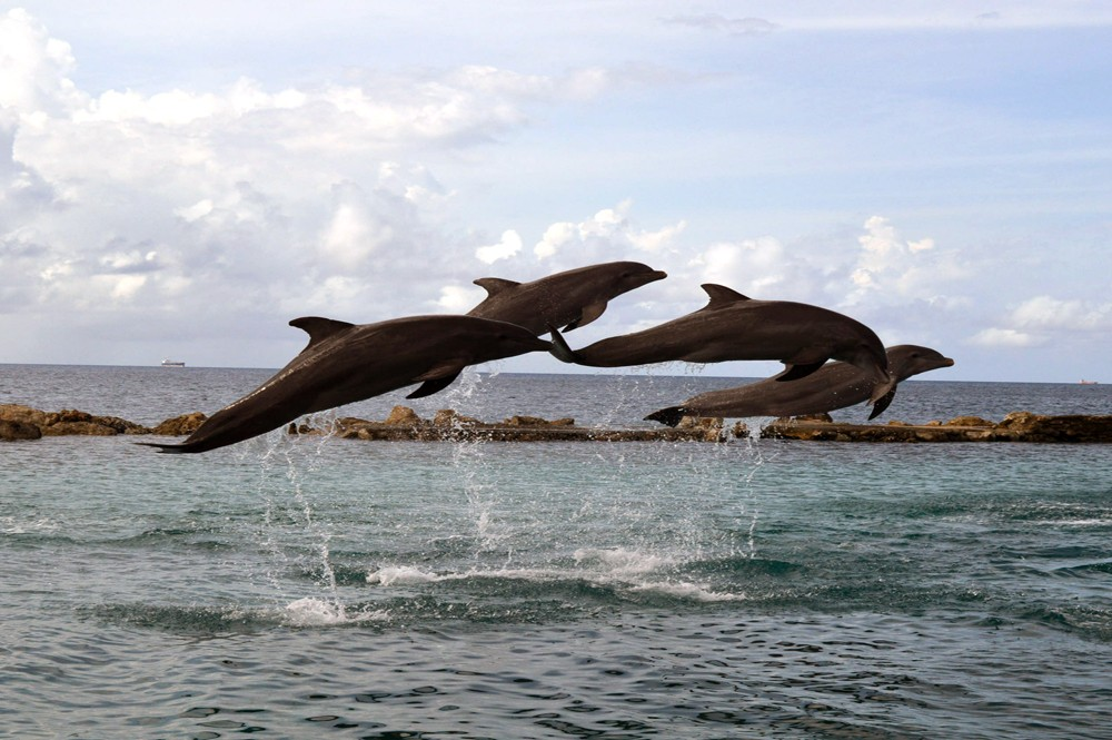 Dolfijnen in actie @ Sea Aquarium Curaçao