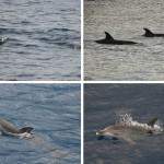 Dolfijnen spotten in Madeira