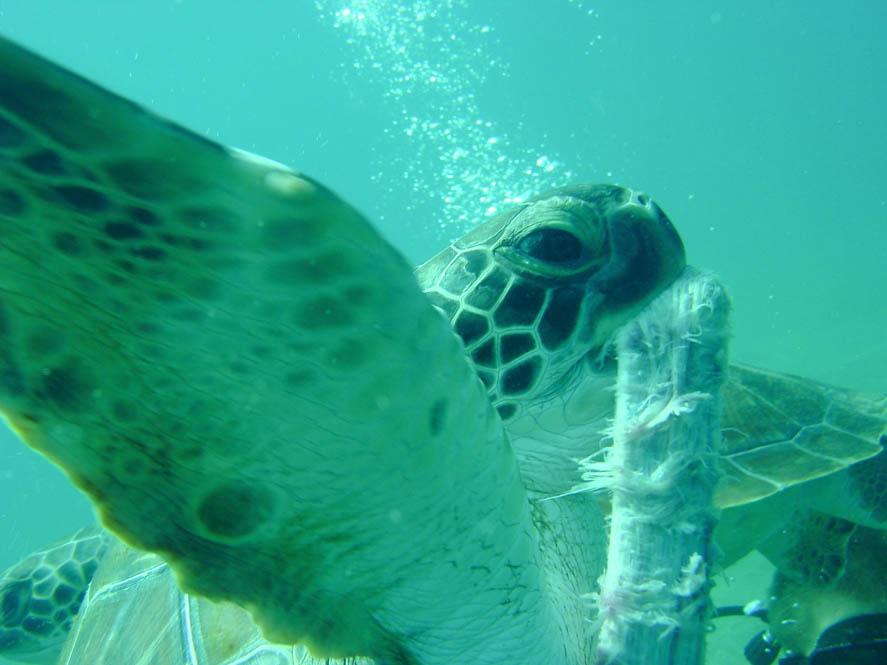 Schildpad Tenerife