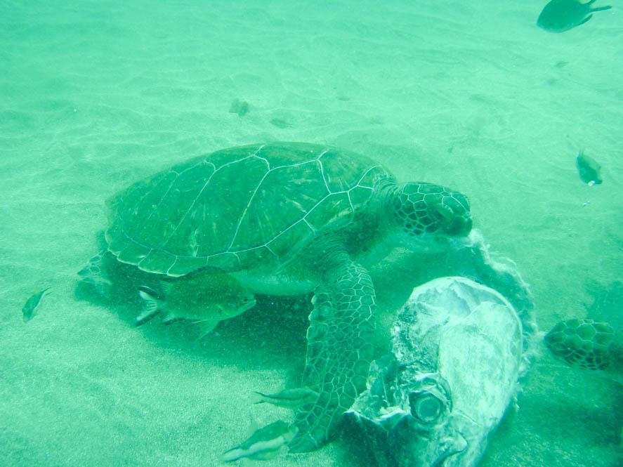 Schildpad - Tenerife