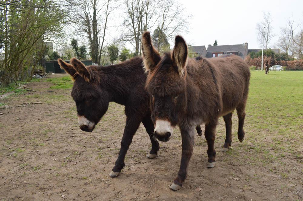 Wandelen met ezels - Limburg