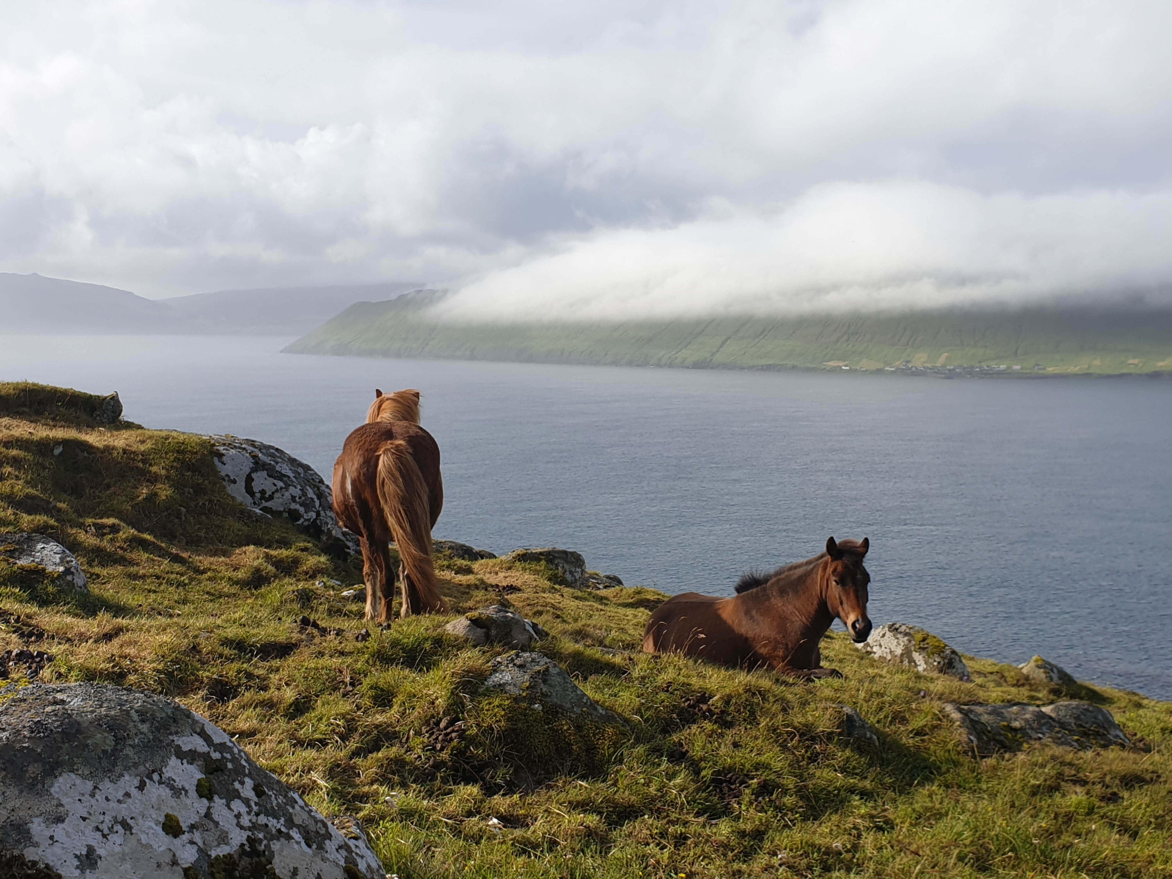 Faeröerse paarden