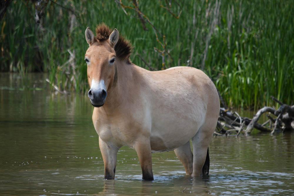 Prezwalksi paarden in Hortobágy Nationale Park