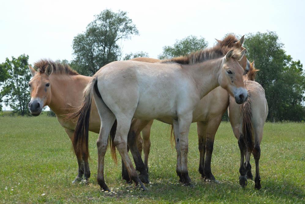 Nationaal Park Hortobágy - Prezwalski paarden