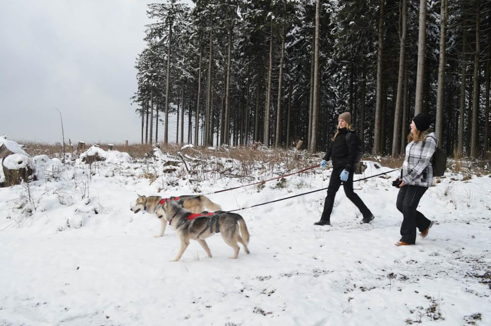 Husky dog trekking