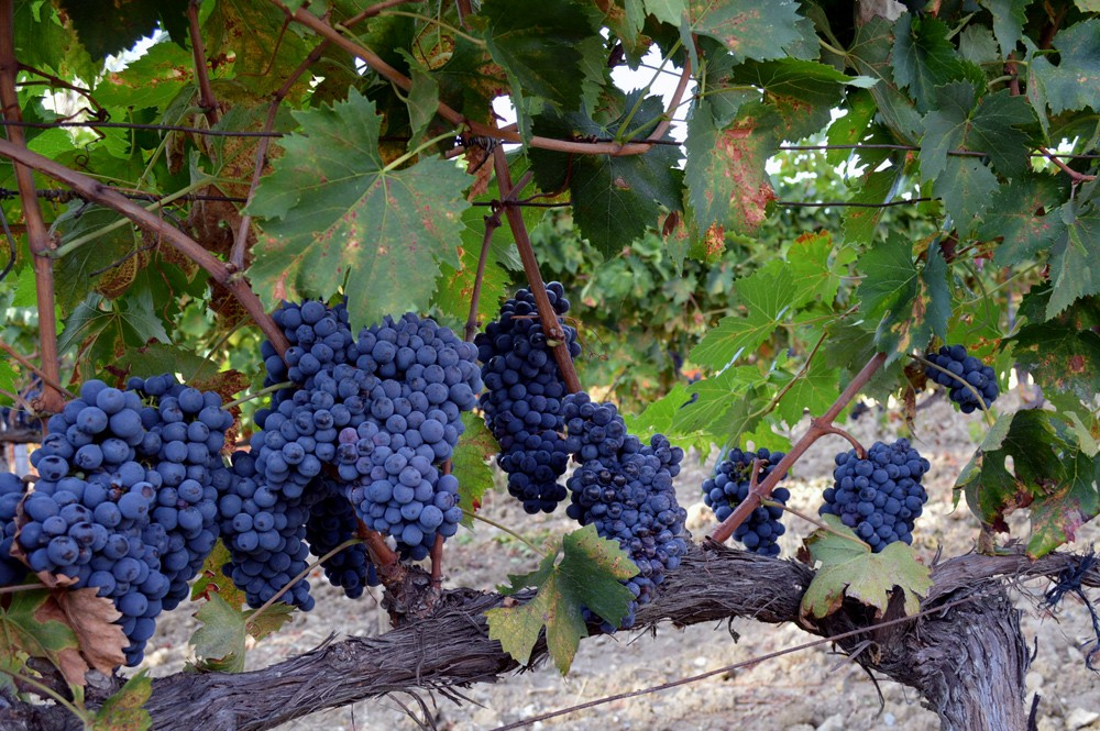 Wijngaard Cerbaia, Montalcino - Italië