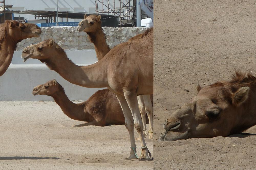 Kamelen souq