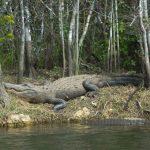 Krokodillen spotten Everglades National Park Florida