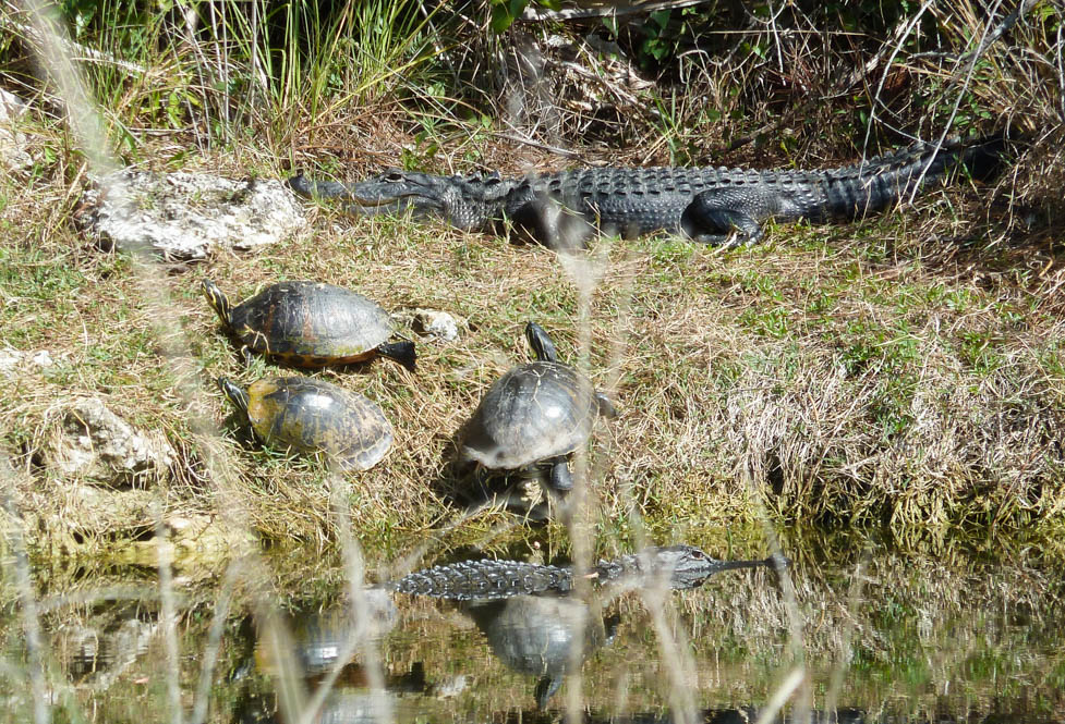 krokodillen-spotten-everglades-florida
