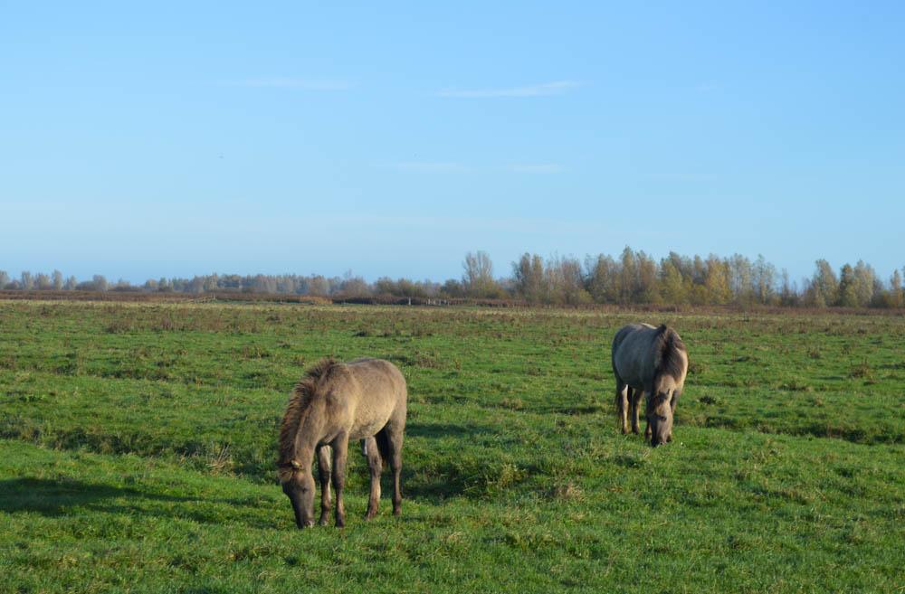 Konikpaarden in Nationaal Park