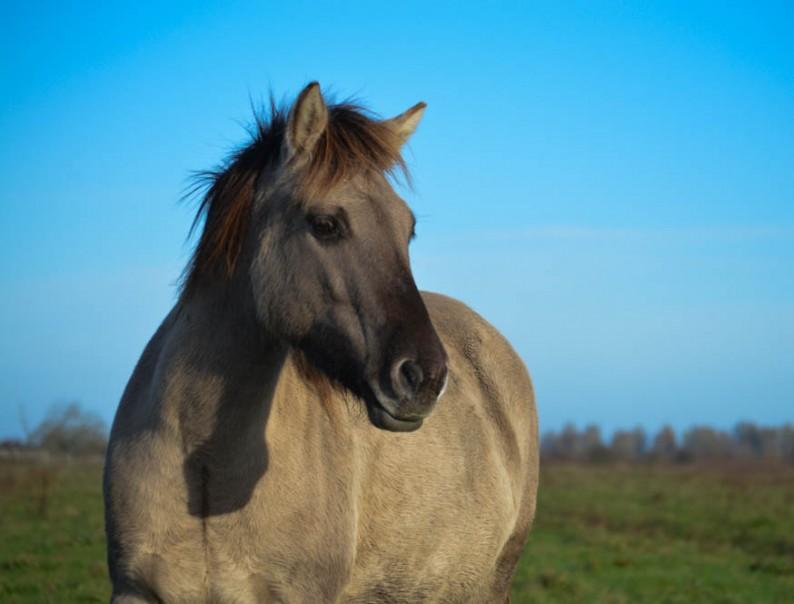 Konikpaarden spotten in Lauwersmeergebied