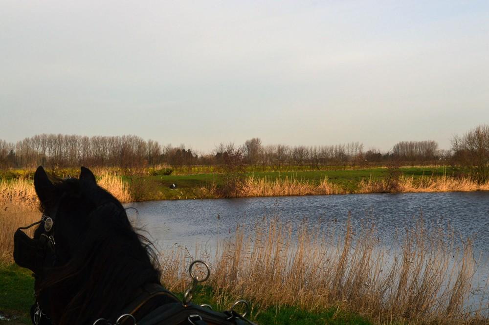 Meetjesland-Belgie-Paarden