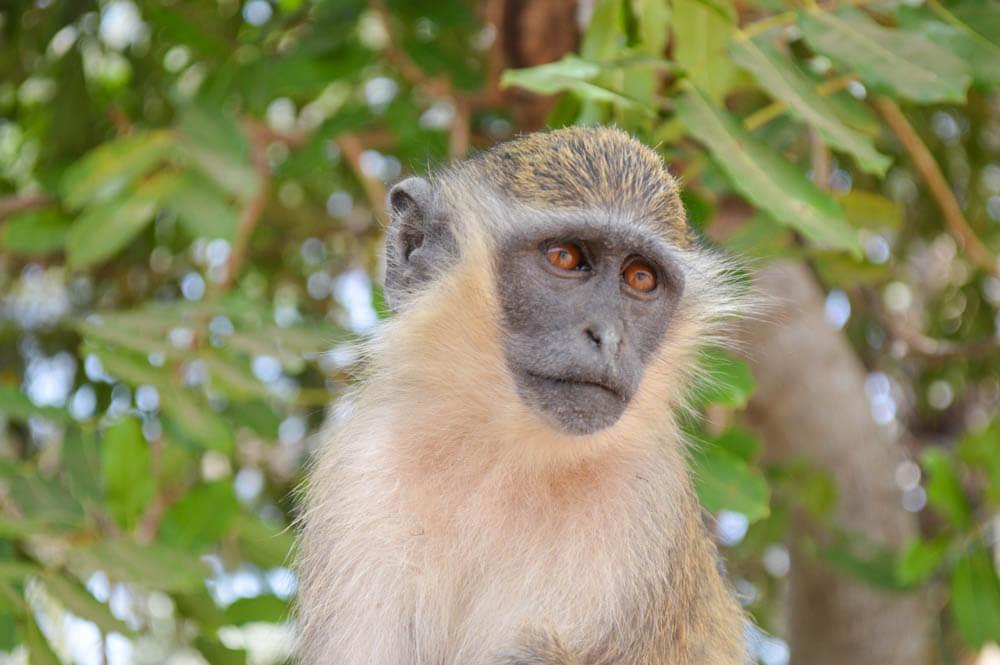 Monkey Park - Gambia