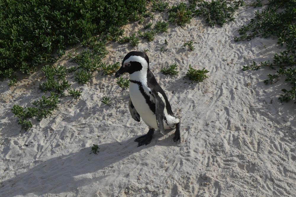Boulders Beach - pinguïns
