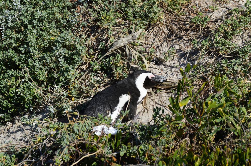 Pinguïns spotten Boulders Beach Kaapstad