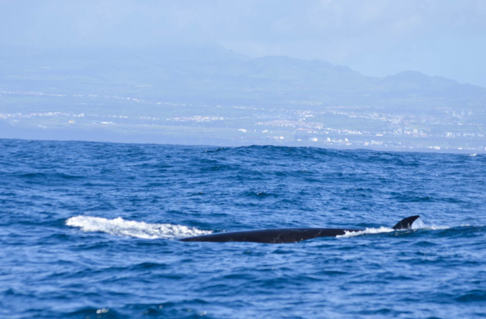SaoMiguel-Azores-Dolhin-Whale-watching
