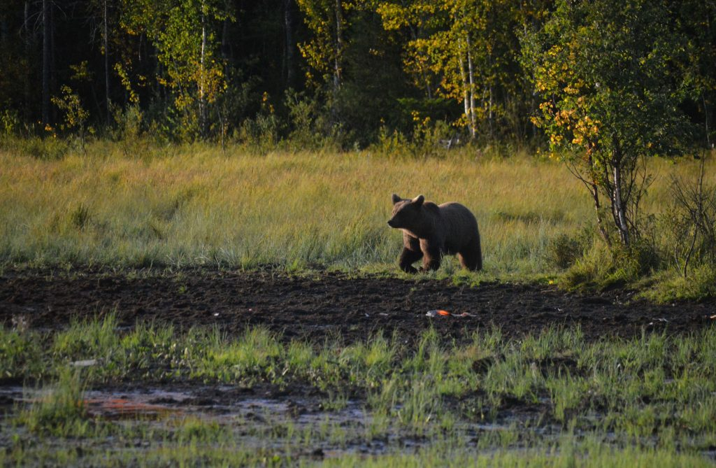 Zijn beren in Finland gevaarlijk