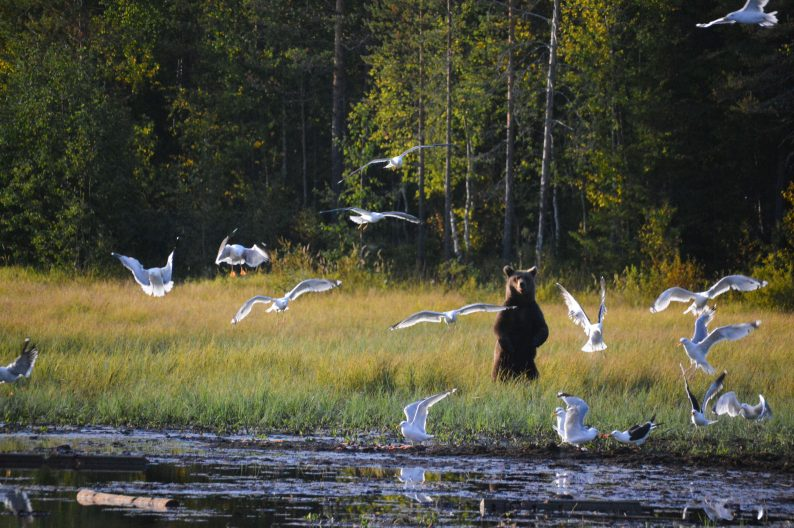 Bruine beren fotograferen in Finland Lapland