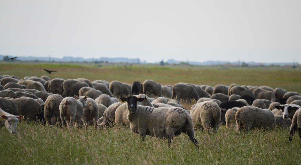 Herder - Schapen - Hongaarse - poesta