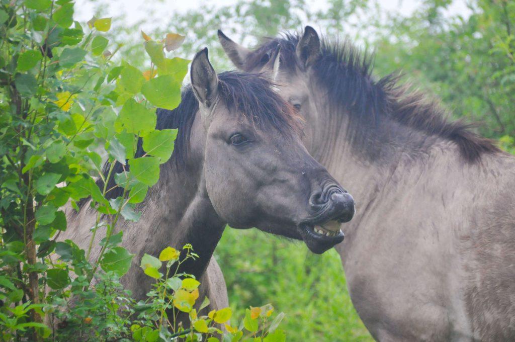 Konikpaarden in Horsterwold bij Stille Kern
