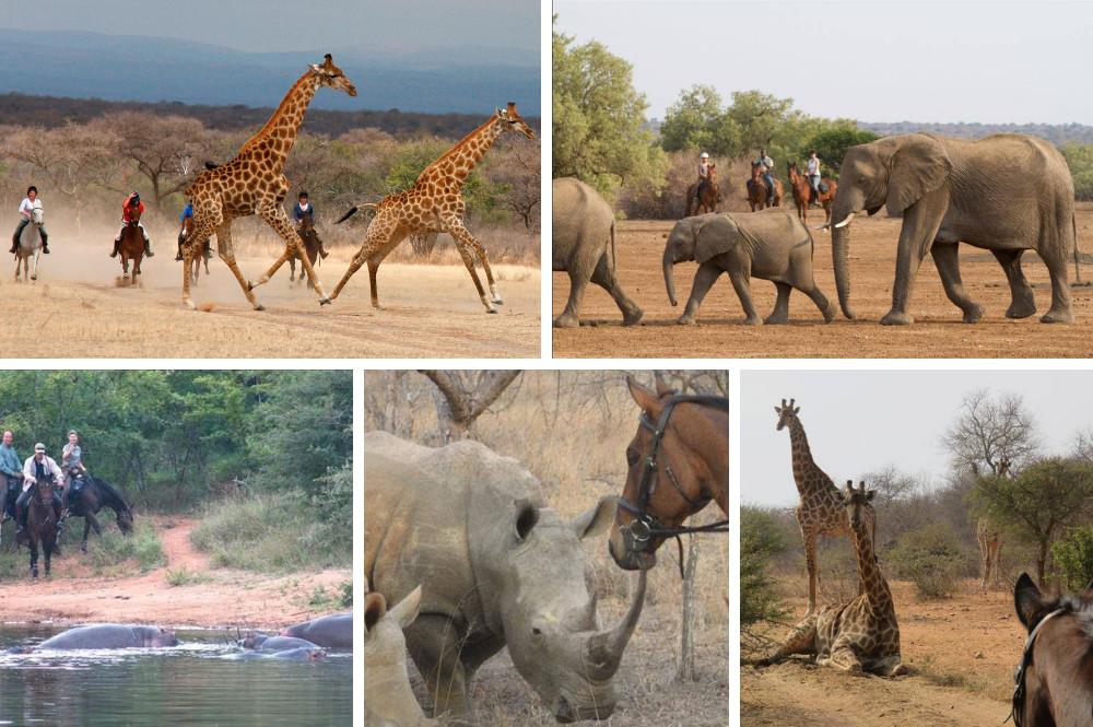 Paardrijden tijdens safari naast giraffen