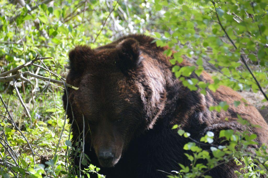 Beren en wolven in het Zwarte Woud