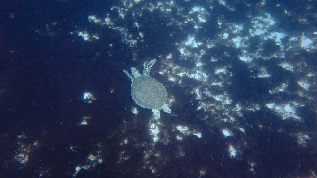 zwemmen met schildpadden op Aruba